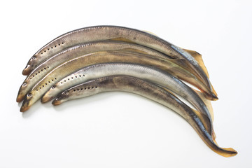 River lamprey on a white background