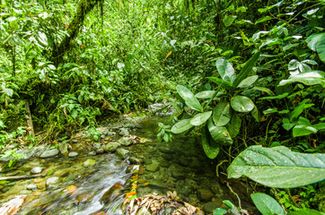 Beautiful creek flowing inside of a green forest with stones in river at Mindo