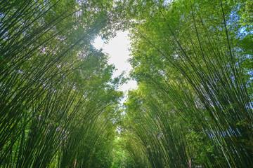 Green bamboo tunnel
