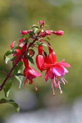 Blüte der Fuchsie, Sommerblume Fuchsia, Nachtkerzengewächs