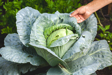 Hand holds green leaf of  luxurious white cabbage in garden