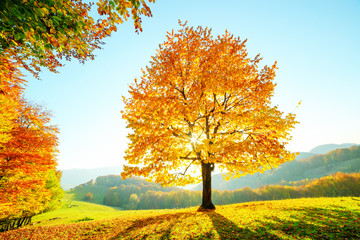Majestic beech tree with sunny beams