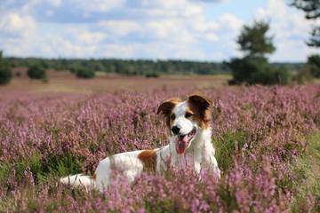 Noch ein perfektes Hundebild in der Heide