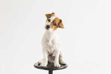 cute small young dog sitting on a black stool over white background and looking at the camera. pets indoors