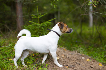 Jack Russell in autumn forest