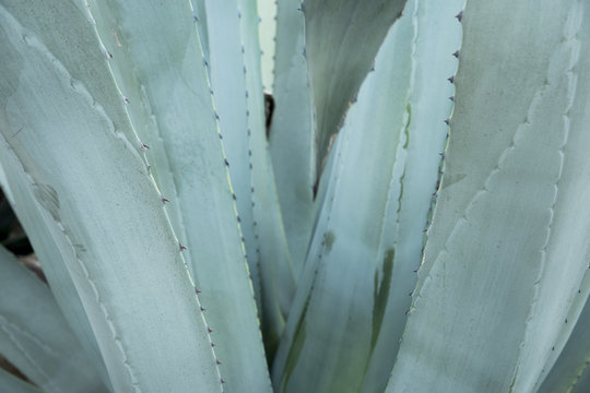 Green agave leaves with thorn background. Green thorned agava close-up. Abstract cactus background.