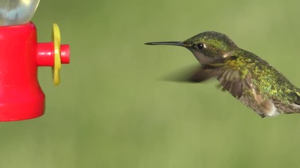 Fotoväggar - Male Ruby-throated Hummingbird (archilochus colubris) in flight with a green background at a feeder