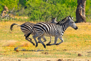 Photo sur Plexiglas Zebra Burchell Zebras running across the African Savannah