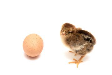 Little chicken nestling and egg