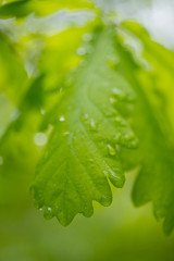 Green leaf with water drops over nature background