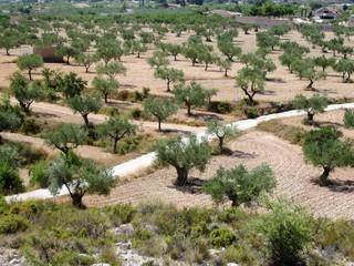 Mediterranean olive grove