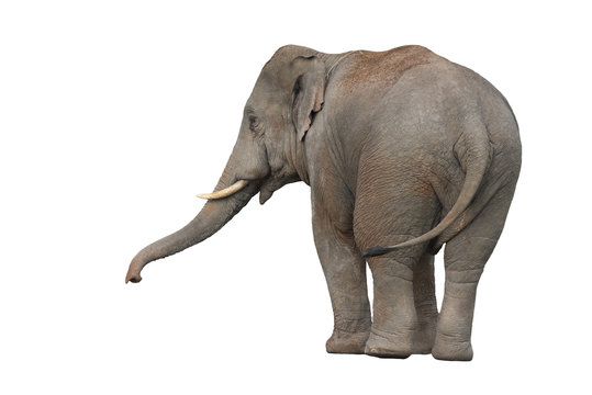 Asian Elephant isolated on white background