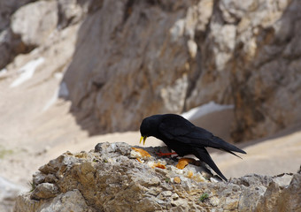 Black chough on the rock