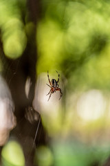 Spider web macro shot. Orb Weaver on its web with blurred trees in the background