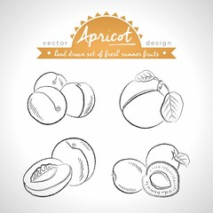Apricot. Vector hand drawn collection of sketch fresh fruits illustration. Isolated