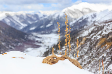Isolated yellow Plants growing on the top of snow mountain, scenic view with snow mountains behind and big blue sky. Wallpaper and Background at Tibet, China