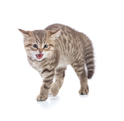 Afraid or scared funny kitten cat isolated