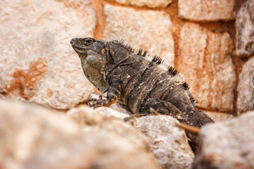 Iguana on a stone at the Uxmal archaeological site, Yucatan, Mexico.