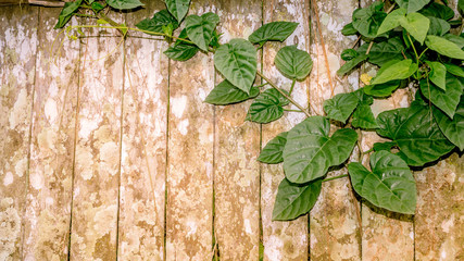 heart shaped green ivy leaves spreading on rustic weathered wooden fence