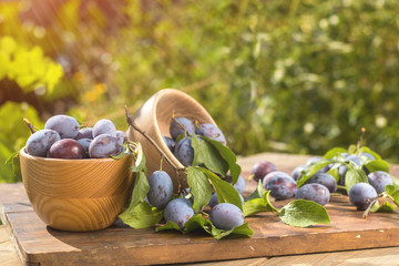 Fresh plums with green leaves in wooden pot on the dark wooden table. Sunny day in the garden. Shallow depth of field. Toned
