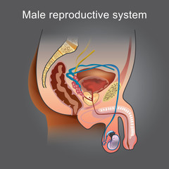 The male Reproductive system consists of a number of sex organs that play a role in the process of human reproduction. Info graphic vector...