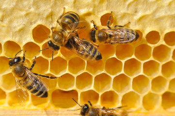 Bees on honeycomb. Close-up of bees on honeycomb in apiary in the summer.