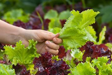 hand picking lettuce in the vegetable garden