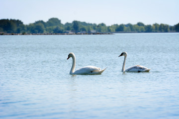 White swans on a rippled lake.
