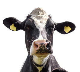 portrait of a cow on a white background