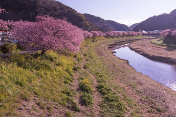 Kawazu Sakura, Cherry Blosson, Spring of Izu, Japan