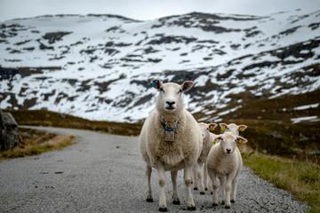 Sheep walking along road. Norway landscape.
