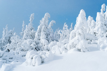 Wall Mural - Firs in the snow on blue sky background
