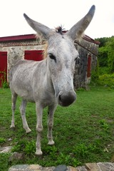 wild roaming donkey on St. John, US Virgin Islands, Caribbean