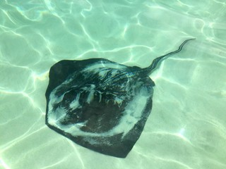 stingray swimming in clear shallow tropical sea