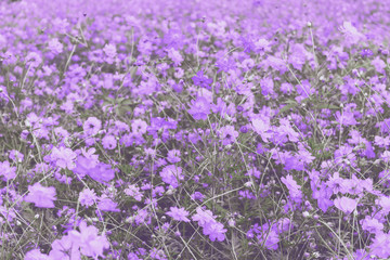Cosmos flower field for background image, vintage style
