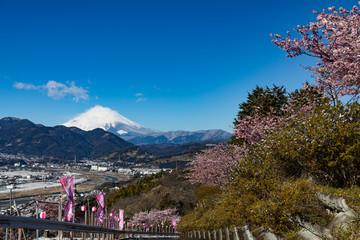 松田山の早春、河津桜の咲く公園
