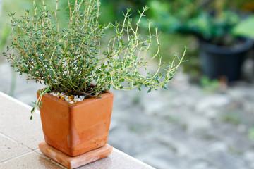 Thyme growing in the pottery
