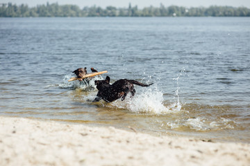 two cheerful brown labradors play in water