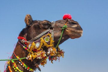 Colorfully Decorated Camel closeup