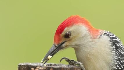 Fotoväggar - Male Red-bellied Woodpecker (Melanerpes carolinus) on a tree trunk eating suet from a hole