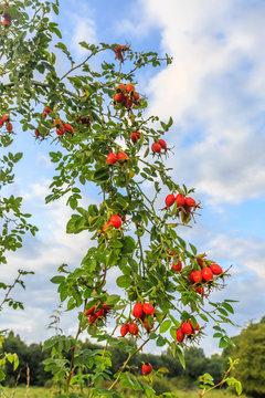 Close up of the ripe bright orange rose hips of the Rosa rubiginosa,