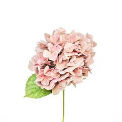 Foto auf Leinwand Hortensie Pink hydrangea flower on white background