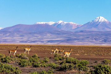 Scenic landscape with vicunas grazing on the Bolivian  altiplano on a background of magnificent volcanoes