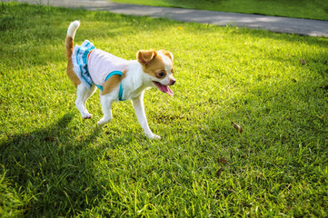 Chihuahua puppy running on the lawn in the evening.