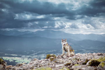 Sitting dog looks at the mountains