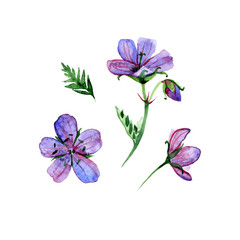 Watercolor flower forest geranium, pink and violet flower, object isolated, summer