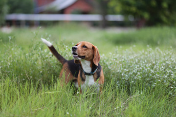 Portrait of beagle dog on the geen grass.