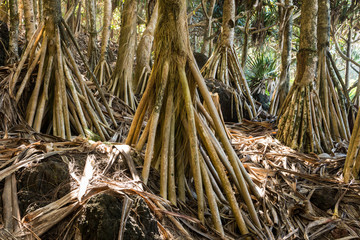 Huge Roots of Pandanus Trees (Screw Palms), La Reunion