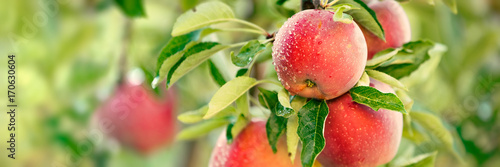 Wall mural Apple tree with red apples