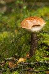 Beautiful boletus mushroom macro